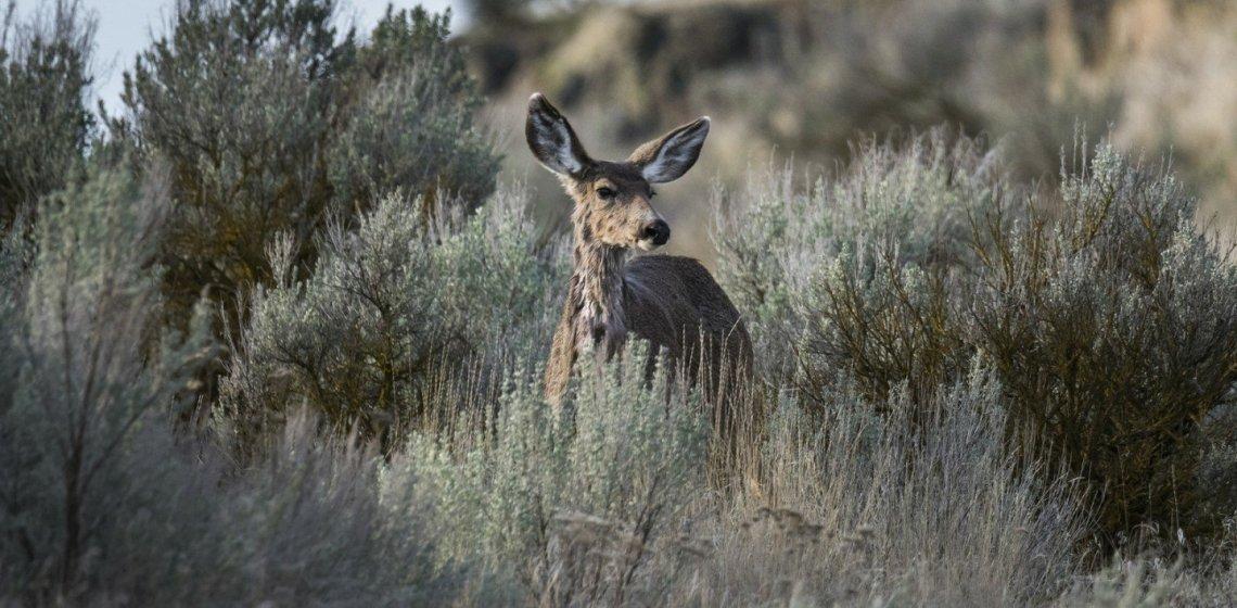 Scrub Deer, Columbia Basin NWR